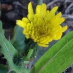 Alm. svinemælk Sonchus oleraceus