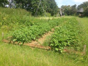 kartoflerne er kommet op