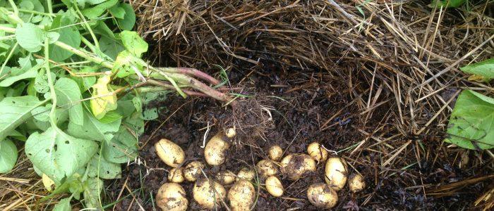 kartofler under halm