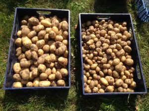 kartofelhøsten